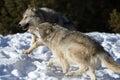 Noordamerikaans grey wolf in sneeuw Royalty-vrije Stock Fotografie