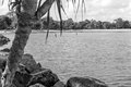 Noosa river palm and water black white Stock Image