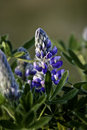 Nootka lupin flower in bloom Stock Photos