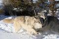 Nordamerikaner grey wolf im schnee Lizenzfreies Stockbild