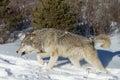 Nordamerikaner grey wolf im schnee Stockbild
