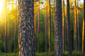 Nordic pine forest in evening light short depth of field Royalty Free Stock Photos