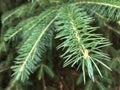 Nordmann fir; Abies; Nordmanniana Royalty Free Stock Photo
