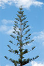 Norfolk Island Pine Stock Photography