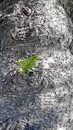 Norfolk Island Pine Tree Bark ...