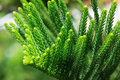 Norfolk Island Pine Tree (soft...