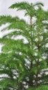 Norfolk Pine Tree detail Royalty Free Stock Photography