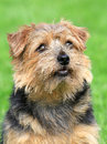 Norfolk terrier on a green grass lawn in spring garden Stock Images