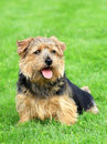 Norfolk terrier on a green grass lawn in spring garden Stock Photo