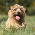 Norfolk terrier smiling at you in high grass Stock Image