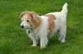 Norfolk Terrier Stand On Green...