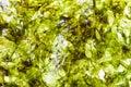Nori dry seaweed sheets Royalty Free Stock Photo