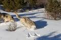 Norr amerikan grey wolf i snö Arkivbild