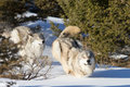 Norr amerikan grey wolf i snö Arkivbilder