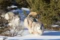 Norteamericano grey wolf en nieve Imagenes de archivo