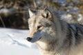 Norteamericano grey wolf en nieve Imágenes de archivo libres de regalías