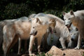North American Arctic Wolfs Royalty Free Stock Photo