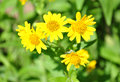 North American arnica (Arnica chamissonis) Royalty Free Stock Photos