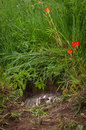 North American Badger Taxidea taxus Hidden in Den Snarling Royalty Free Stock Photo
