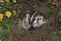 North american badger taxidea taxus sits calmly in den captive animal Stock Image