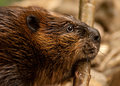 North American beaver or Canadian Beaver (Castor canadensis) carrying tree branches. Stock Photo