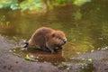 North American Beaver Kit Castor canadensis Stands on Shorelin