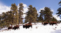 North american bison buffalo roam hillside fresh snow blue sky big down into the valley from up high on the hill Royalty Free Stock Image