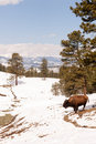North american bison buffalo roam hillside fresh snow blue sky big down into the valley from up high on the hill Royalty Free Stock Photos