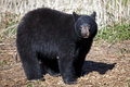 North american black bear a landscape view of a single Stock Photo