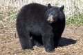 North american black bear a landscape view of a single Stock Images