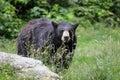 North American Black Bear - North Carolina Royalty Free Stock Photo