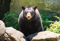 North american black bear north carolina this is a medium sized ursus americanus seen in grandfather mountains in linville these Stock Photos