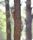 North american bobcat yellowstone nat park,idaho Royalty Free Stock Photo