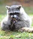North american bobcat yellowstone nat park,idaho Royalty Free Stock Images