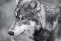 North American Gray Wolf WIth Blue Eyes Royalty Free Stock Photo