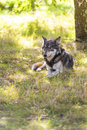 North american gray wolf canis lupus laying down in a woodland forest Royalty Free Stock Photos