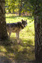North american gray wolf canis lupus looking through treesin golden autumn fall light Stock Photo