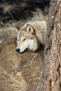 North american grey wolf behind tree Fotografia de Stock