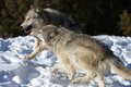 North american grey wolf na neve Fotografia de Stock Royalty Free