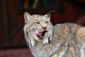North American Lynx Royalty Free Stock Photography