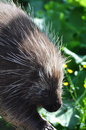 North american porcupine erethizon dorsatum Stock Photos