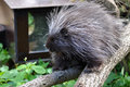 North american porcupine erethizon dorsatum Stock Photography