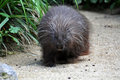 North american porcupine erethizon dorsatum Royalty Free Stock Images