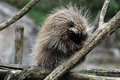 North american porcupine erethizon dorsatum also known as canadian or common or new world Stock Images