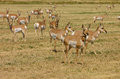 North american pronghorn herd of capri americanus on cut alfalfa feilds Stock Photo