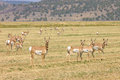 North american pronghorn herd of capri americanus on cut alfalfa feilds Stock Image