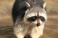 North american raccoon Royalty Free Stock Photo