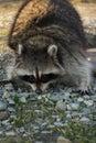 North American raccoon. Royalty Free Stock Photo