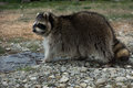 North American raccoon. Royalty Free Stock Photo