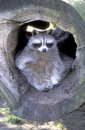 North american racoon procyon lotor single mammal on log Stock Photo